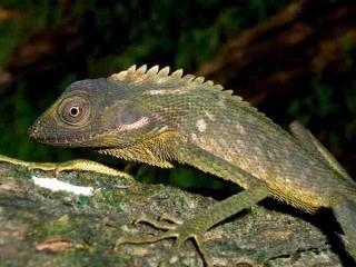 Mimikri Bunglon