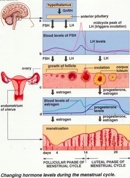 Perubahan Hormon Saat Menstruasi
