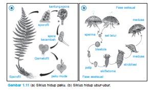 Siklus Hidup Paku dan Ubur-ubur